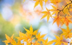 Картинка листья, осень, обои, макро, клен