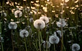 Обои одуванчики, цветы, свет, лето