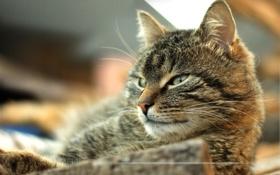 Картинка кошка, кот, взгляд, смотрит, котэ