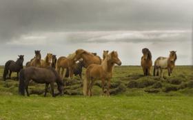 Обои гроза, поле, трава, лошади, серые облака