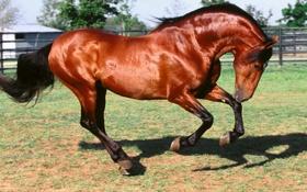 Обои конь, красивый, копыта