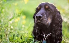 Обои друг, чёрная, трава, собака