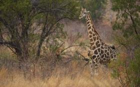 Обои жираф, саванна, кусты, шея