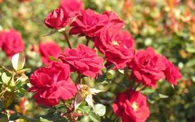 Обои цветы, розы, сад