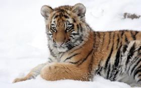 Картинка кошка, снег, тигр, детёныш, тигрёнок, амурский