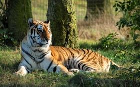 Картинка кошка, тигр, фон, отдых, зверь