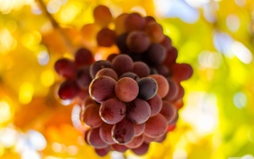 Обои листья, гроздь, виноград, ветка, макро