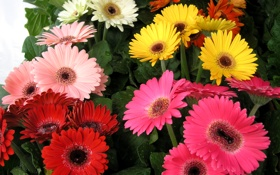 Картинка фото, Цветы, Герберы, Крупным планом