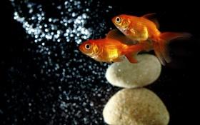 Картинка water, stones, Gold Fish