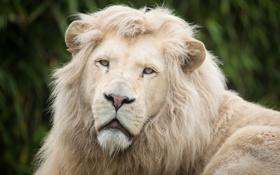 Картинка кошка, взгляд, морда, грива, белый лев