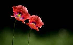 Обои цветы, маки, красные, два