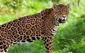 Картинка взгляд, Ягуар, наблюдение