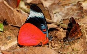 Обои листья, яркая, красная, бабочка, бабочки, черная, пожухлые
