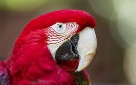 Картинка попугай, окрас, расцветка, ара