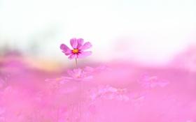 Картинка поле, розовая, фокус, много, космея