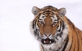 Обои белый, тигр, кошка