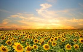 Обои поле, небо, облака, деревья, подсолнухи, закат, цветы