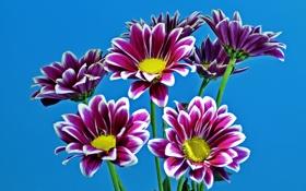 Обои фиолетовые, хризантемы, голубой фон