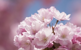 Картинка цветы, Цветок, сакура, flower