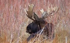 Картинка природа, рога, лось