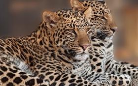 Картинка парочка, дуэт, леопарды