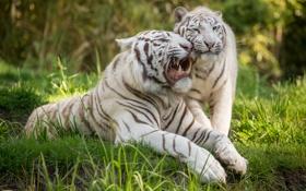 Обои белый тигр, оскал, трава, кошка, пара