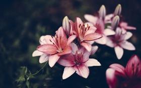Картинка цветы, лилии, лепестки, розовые