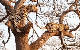 Обои кошки, дерево, ветви, леопарды