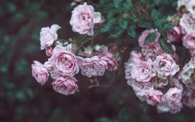 Обои капли, розы, куст, лепестки, вода, размытость