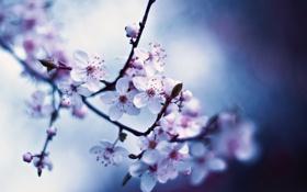 Картинка макро, весна, белые, цветочки, цветение