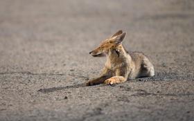 Картинка хищник, Lycalopex culpaeus, андская лисица, псовые