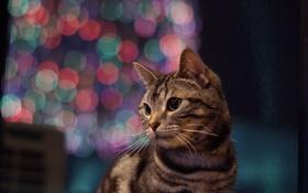 Обои кот, взгляд, фон, котэ, котейка