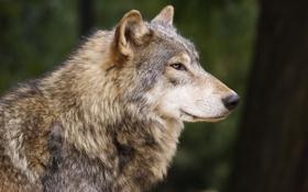 Обои взгляд, уверенность, спокойствие, Волк, профиль