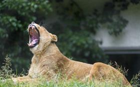 Обои кошка, трава, пасть, львица, зевает, ©Tambako The Jaguar