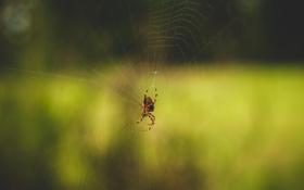 Обои паутина, паук, насекомое