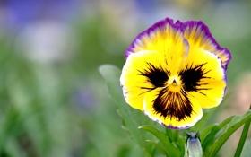 Обои анютины глазки, виола, цветы