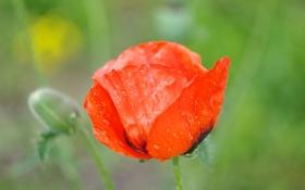 Картинка цветок, лето, вода, капли, макро, красный, яркий