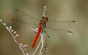 Обои стрекоза, веточка, брюшко, крылья, прожилки
