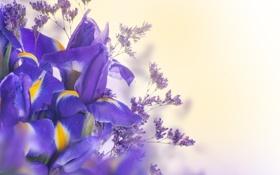 Картинка листья, лепестки, цветение, синие, цветки, ирис