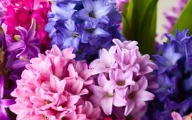 Обои цветы, букет, гиацинты