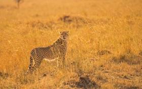 Обои поза, хищник, гепард, саванна, Африка, дикая кошка, наблюдение