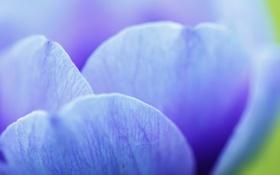Обои цветок, макро, голубой, лепестки, жилки