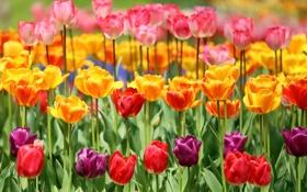 Обои тюльпаны, бутоны, разноцветные