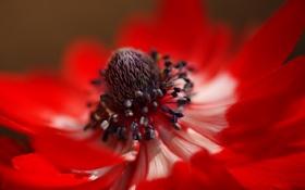 Картинка цветок, макро, красный, лепестки