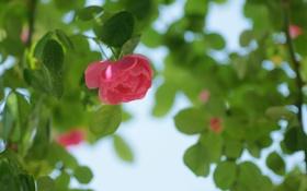 Обои зелень, цветок, листья, розовая, роза