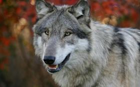 Картинка лес, природа, опасность, волк, собака, хищник