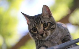 Картинка котенок, серый, смотрит, любопытство