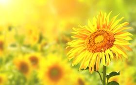 Картинка поле, подсолнухи, цветы, солнечные цвета