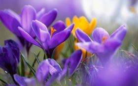 Обои лето, крокусы, фиолетовые, желтые, макро, цветы