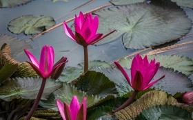 Обои листья, розовые, ярко, цветение, водяные лилии, водоем